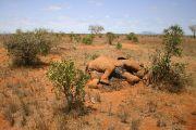Centinaia di elefanti muoiono improvvisamente, trovata la misteriosa causa