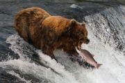 Salmone conteso tra orso e pescatore: come va a finire? Video